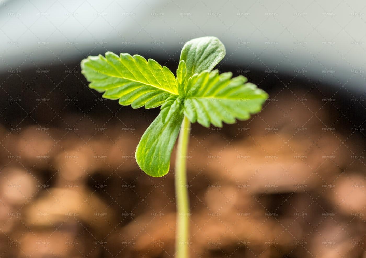Marijuana Sprout In A Pot Close-Up: Stock Photos