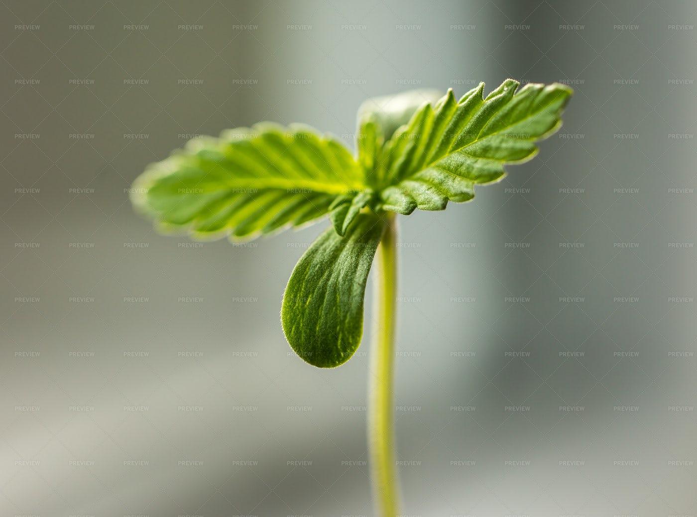 Cannabis Sprout Macro: Stock Photos