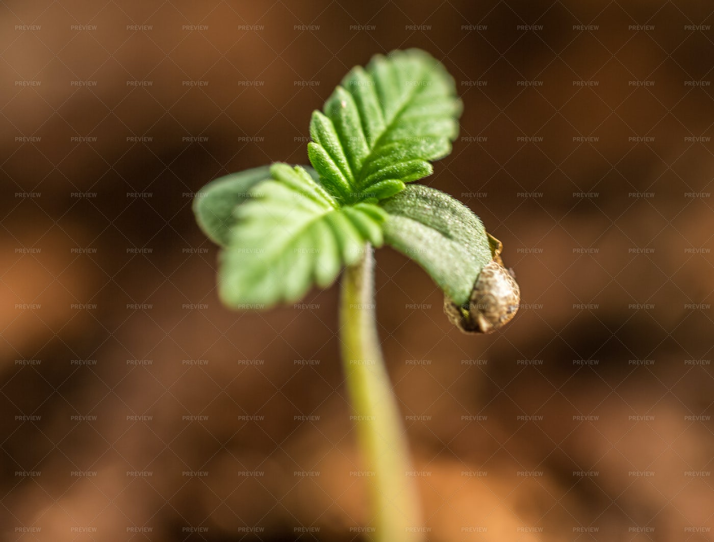 Cannabis Seedling: Stock Photos
