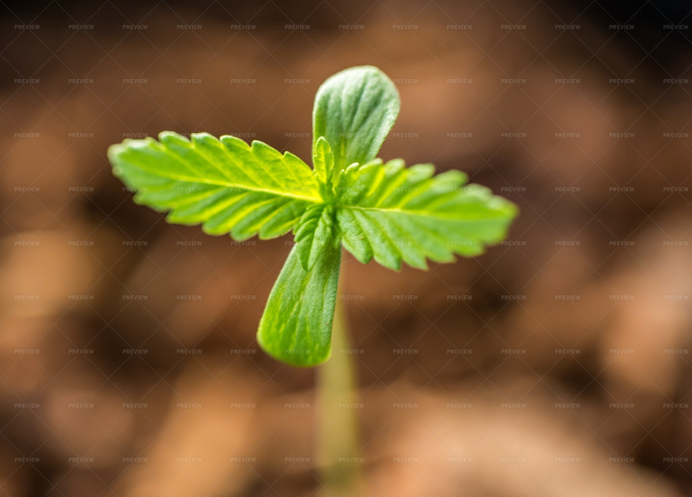 Cannabis Sprout: Stock Photos