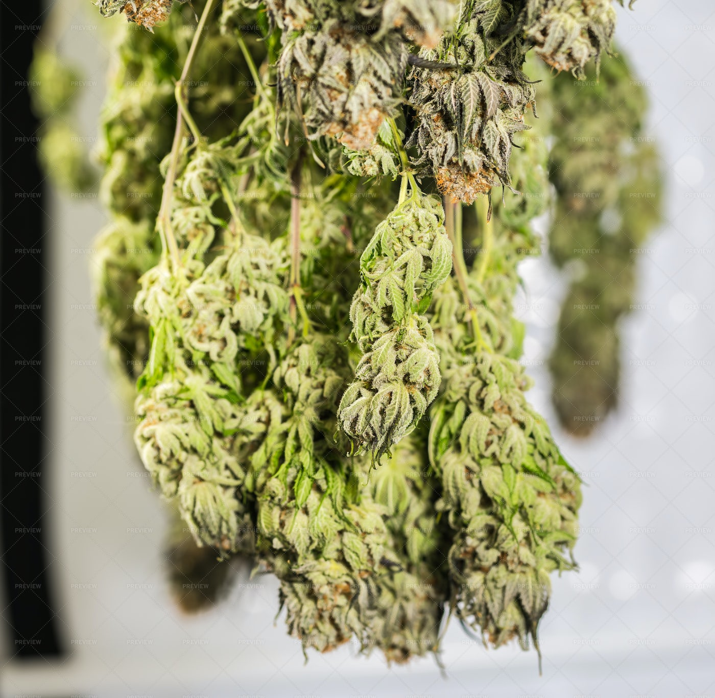 Cannabis Hanging To Dry Close-Up: Stock Photos