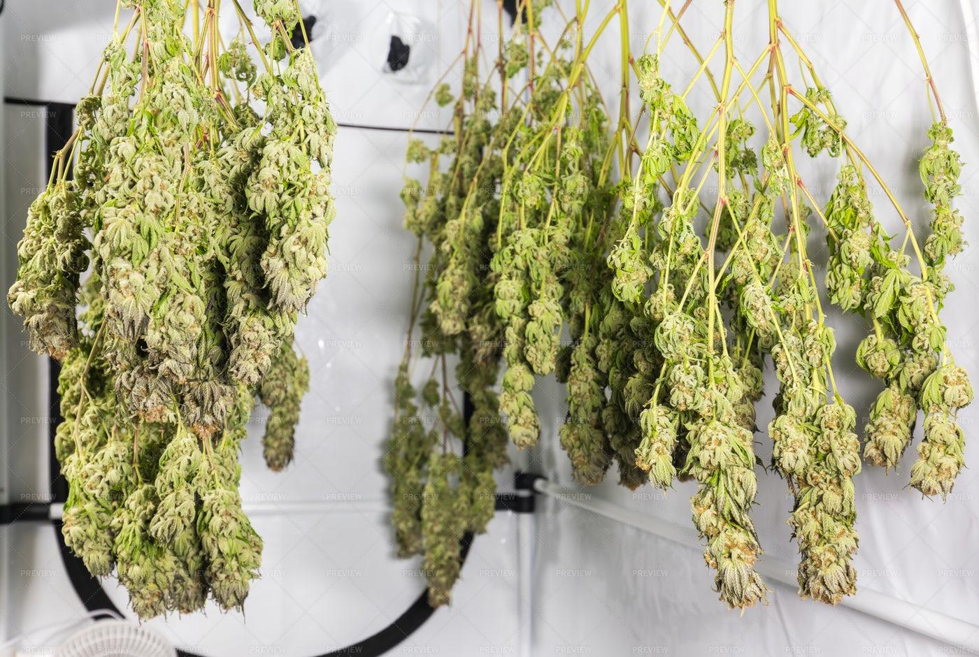 Drying Cannabis: Stock Photos