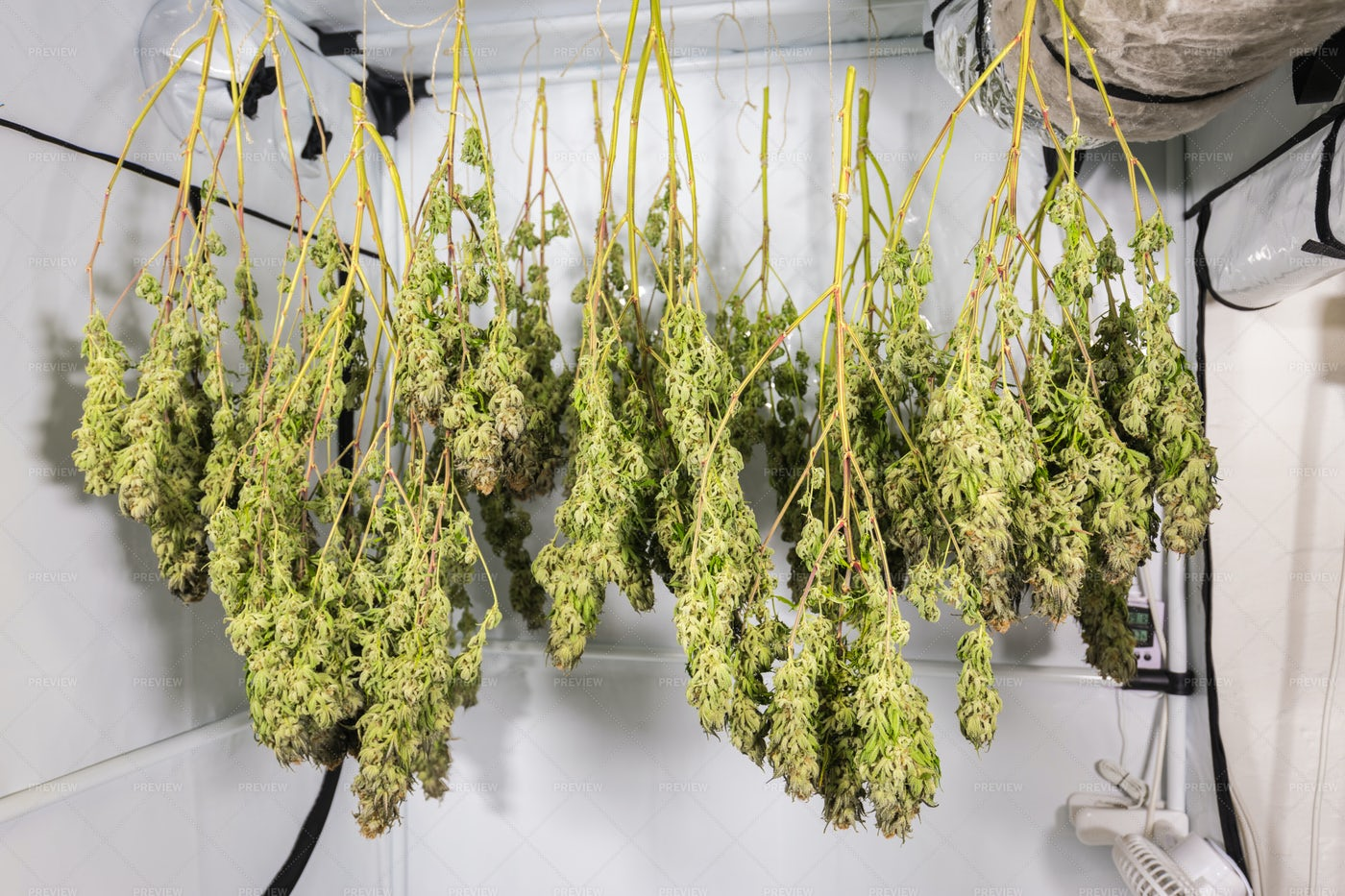 Drying Cannabis In Tent: Stock Photos