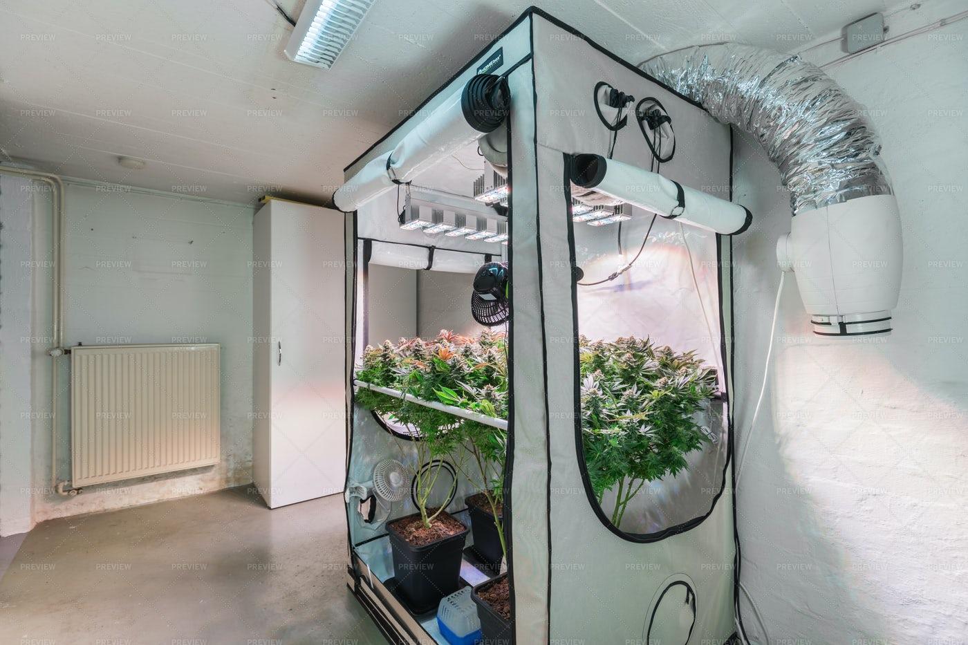 Cannabis Growing Indoors: Stock Photos