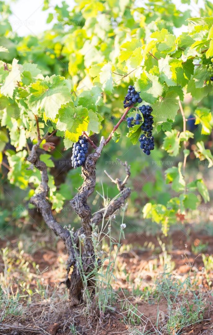 Vineyard Of Primitivo Grapes: Stock Photos