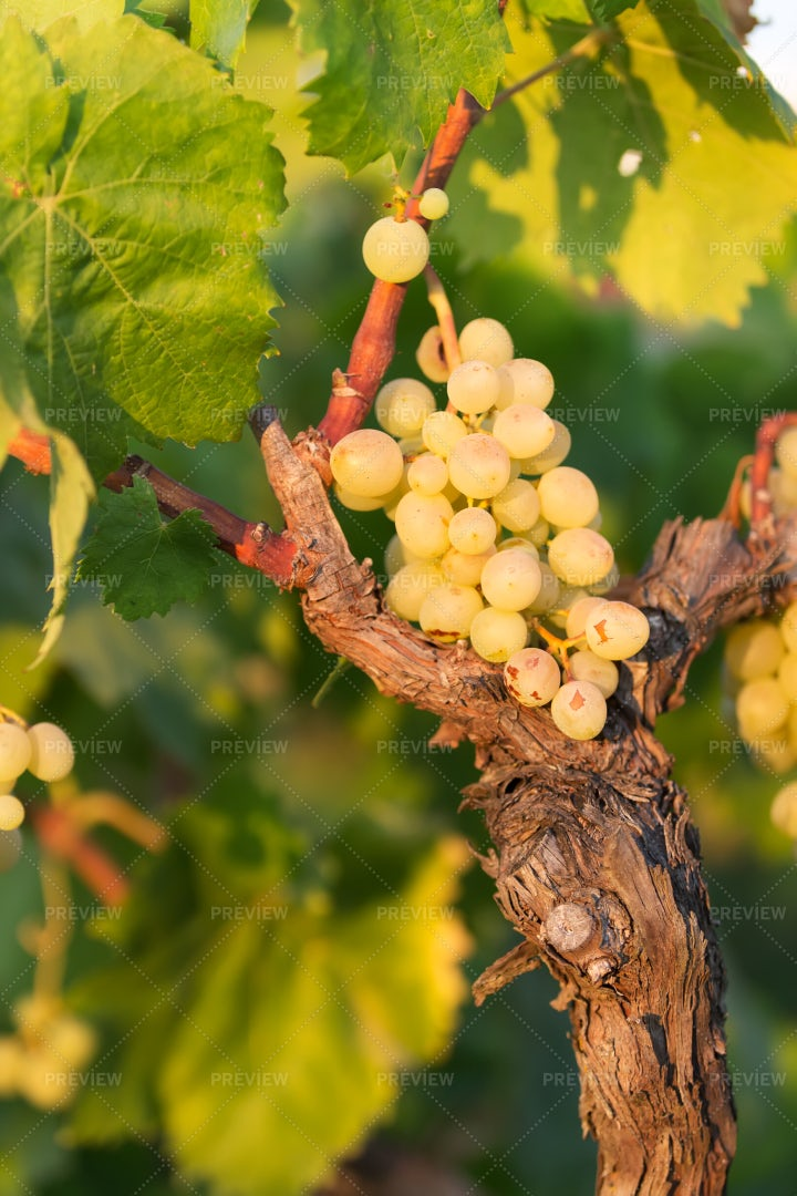 White Grapes On A Bright Sunny Day: Stock Photos