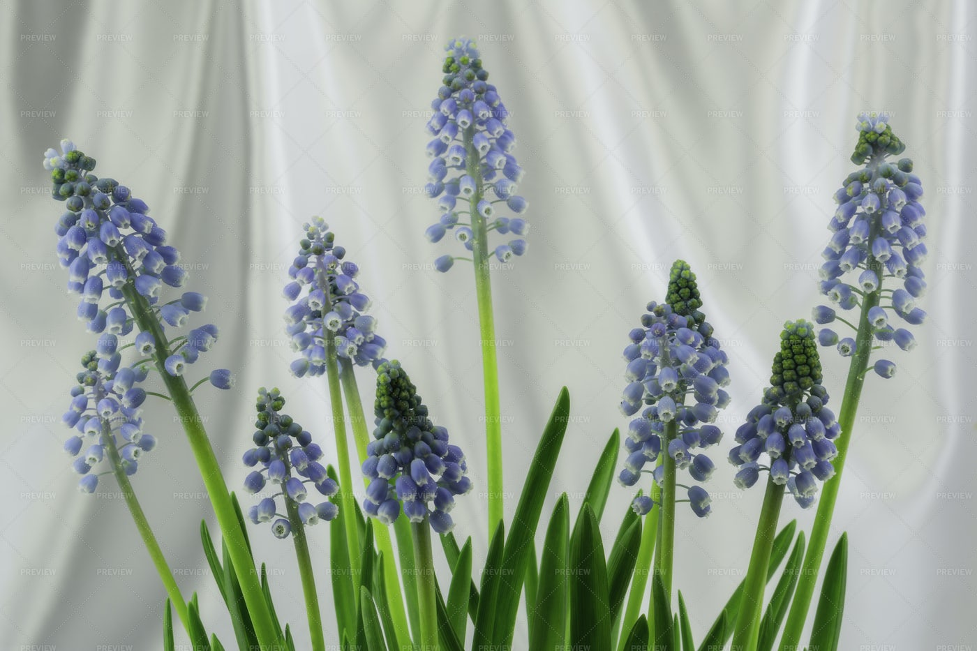 Muscari Flowers: Stock Photos