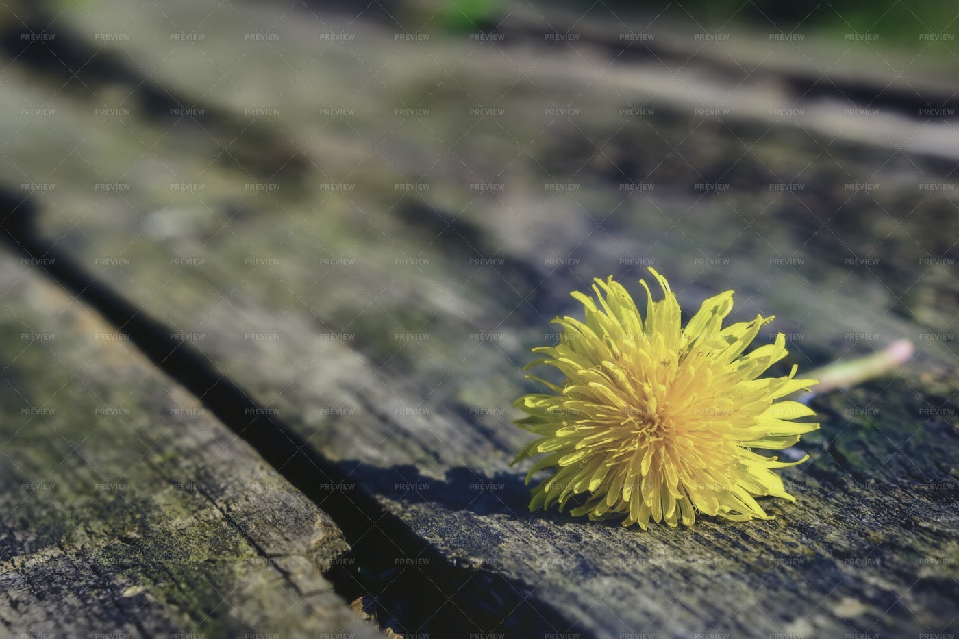 One Flowering Dandelion: Stock Photos