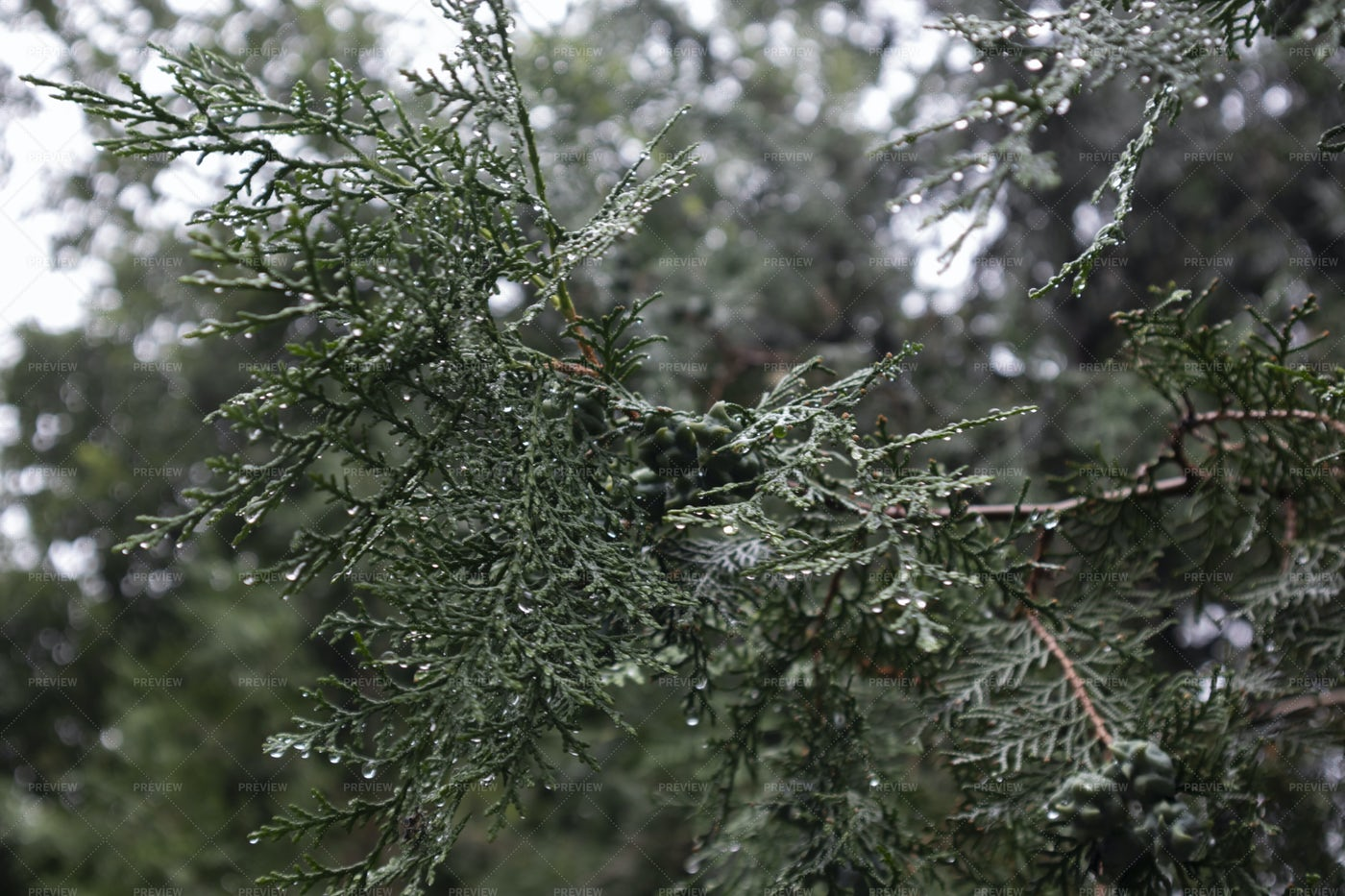 Rain Covered Tree Branches: Stock Photos