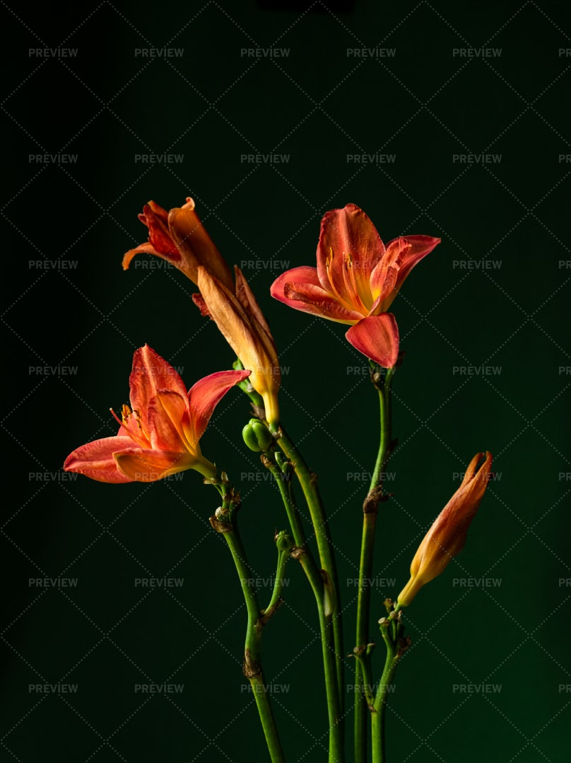 Red Lilies: Stock Photos