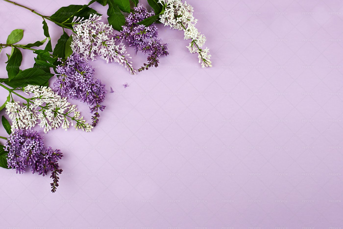 Lilacs On A Lilac Background: Stock Photos