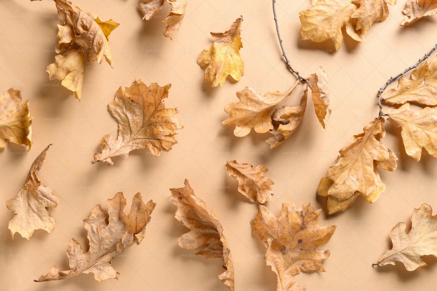 Fall Oak Leaves: Stock Photos