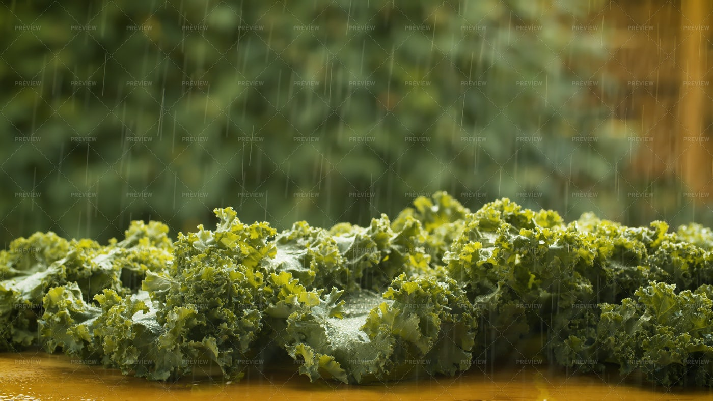Lettuce Under The Rain: Stock Photos