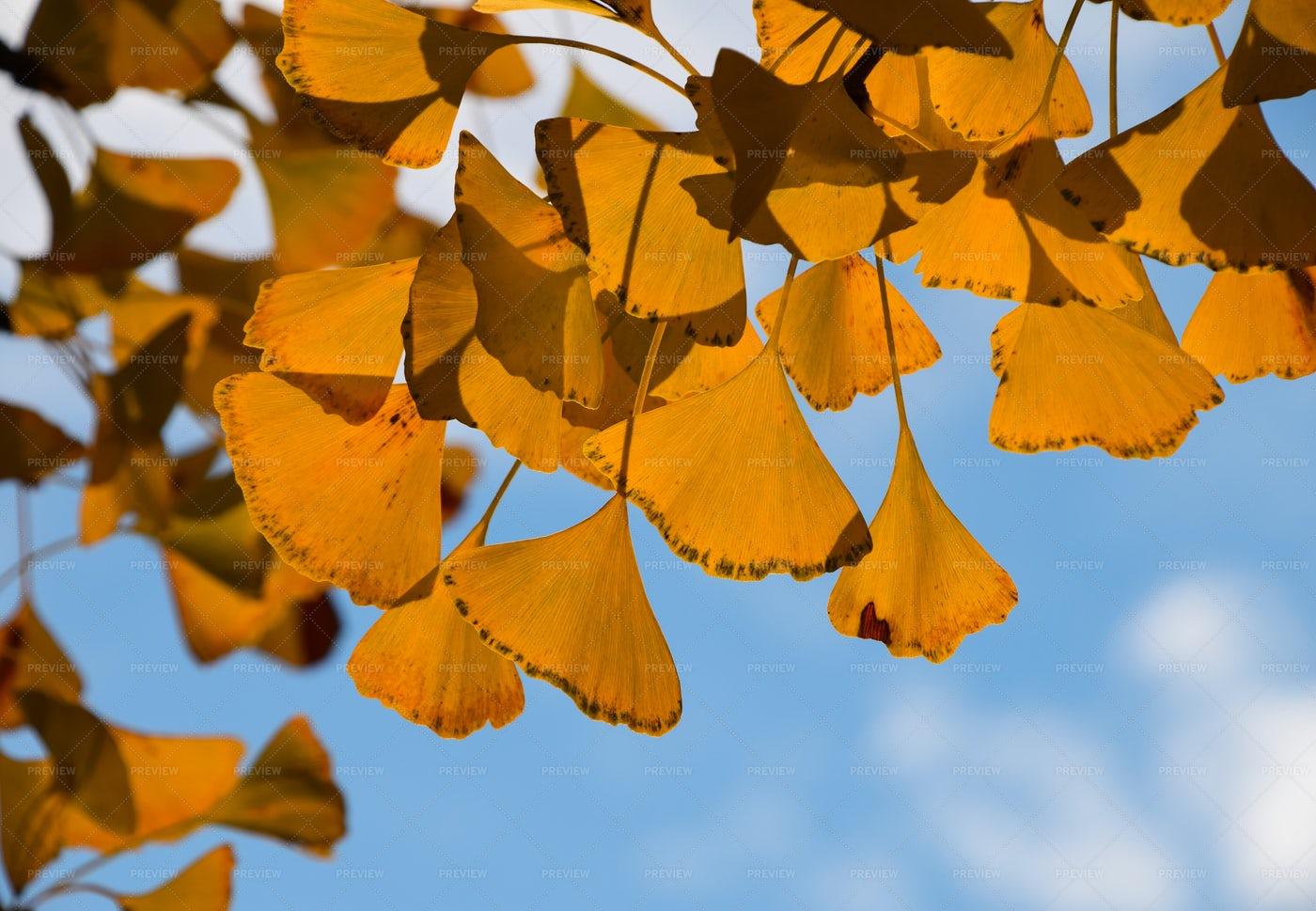 Yellow Ginkgo Biloba Leaves: Stock Photos