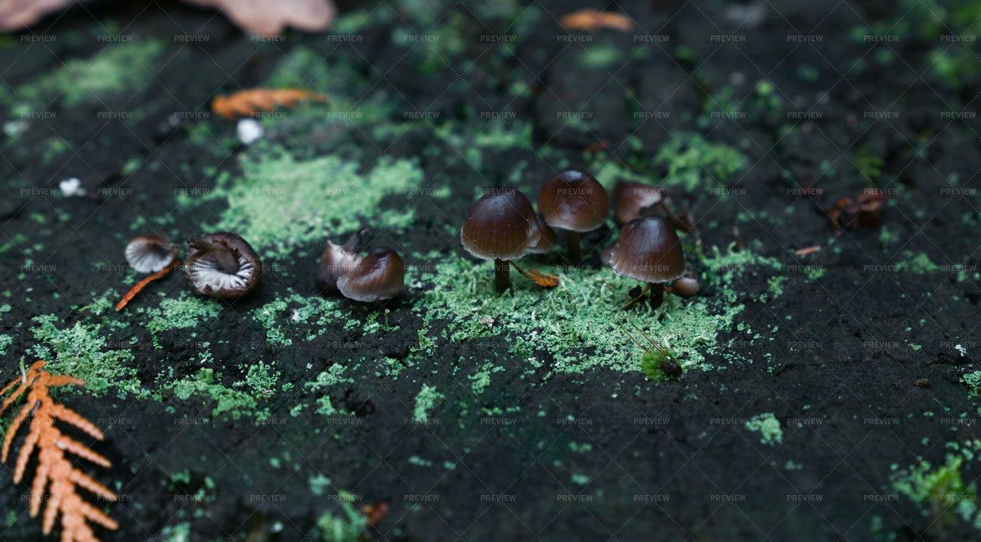 Toadstool Poisonous Mushrooms: Stock Photos