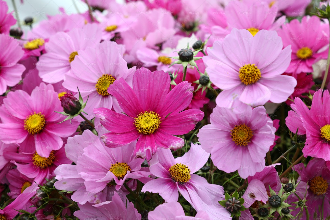 Pink And Purple Flowers: Stock Photos
