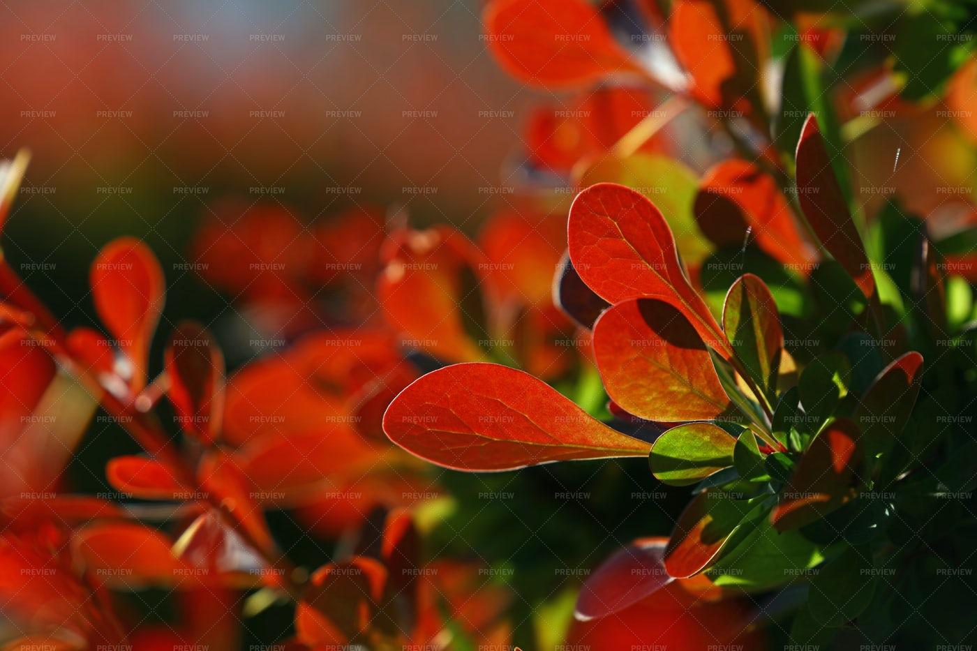 Red Autumn Berberis Leaves: Stock Photos