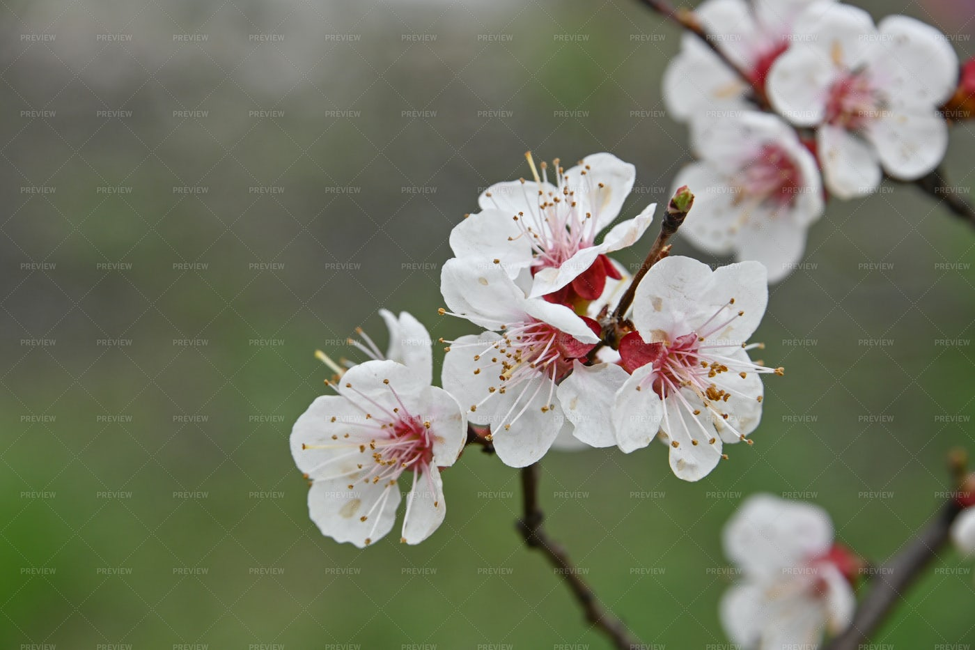 White Cherry Blossoms Over Green: Stock Photos