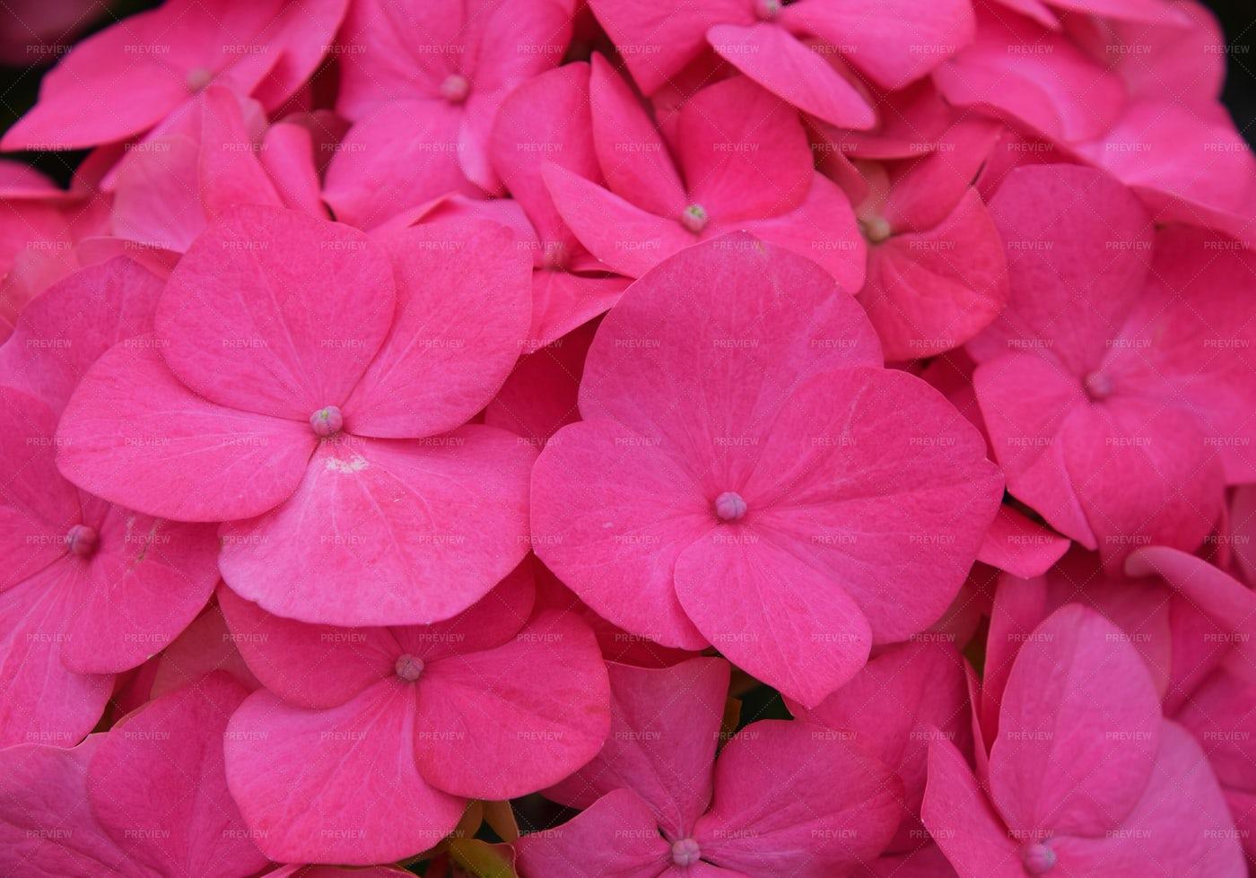 Pink Hortensia Flowers: Stock Photos
