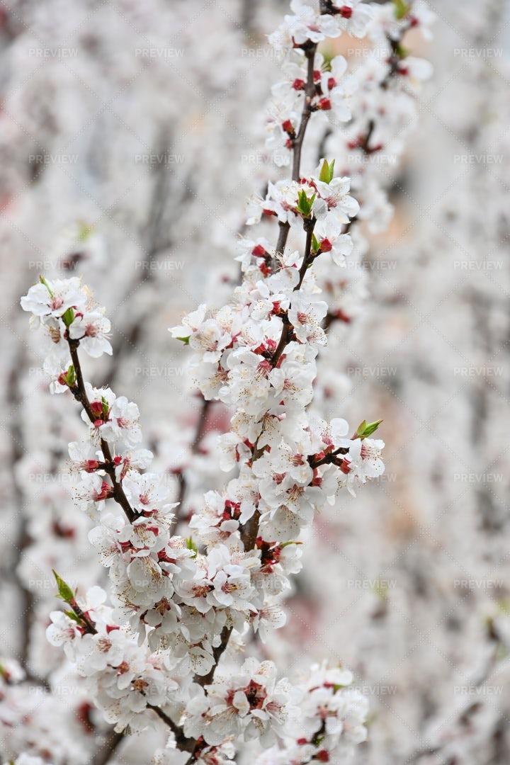 White Apricot Blossom: Stock Photos