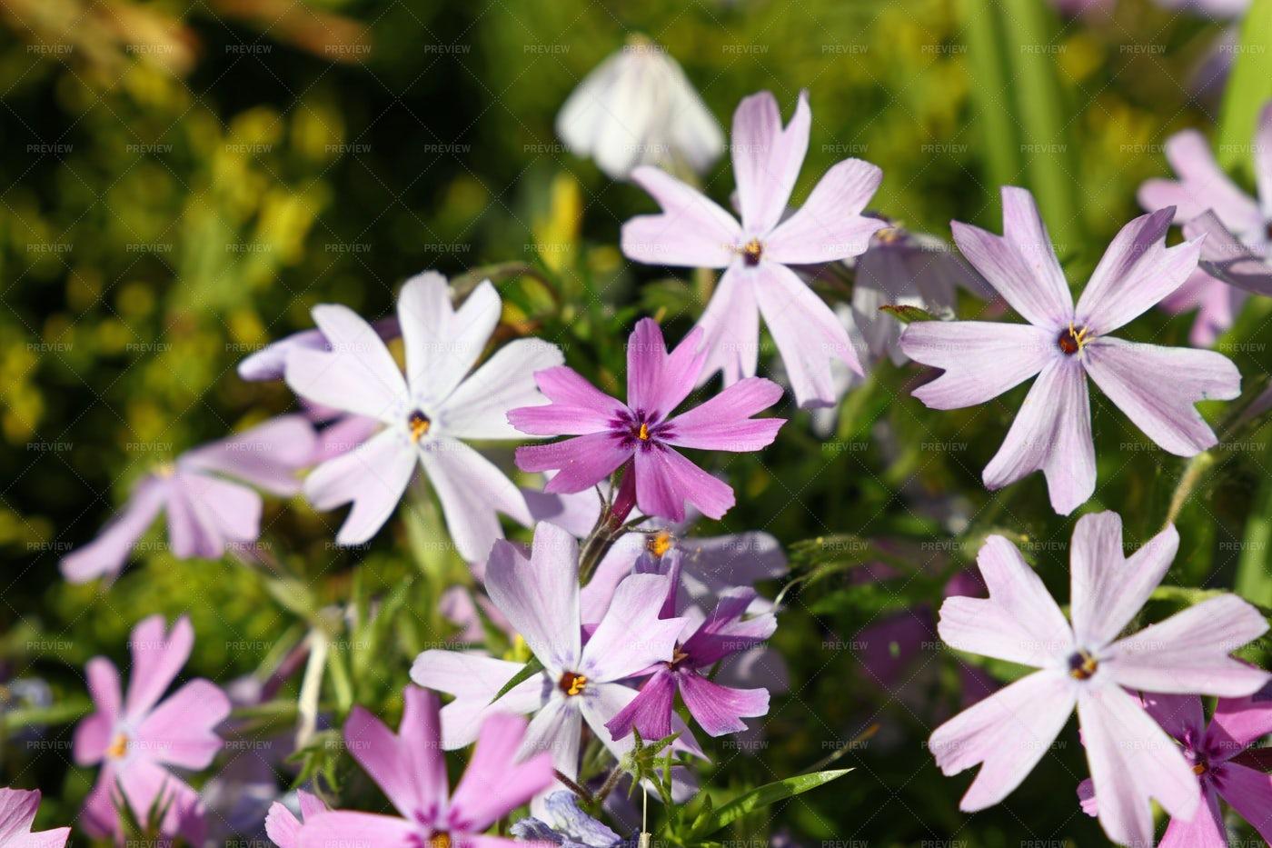 Purple Meadow Mallow Flowers: Stock Photos