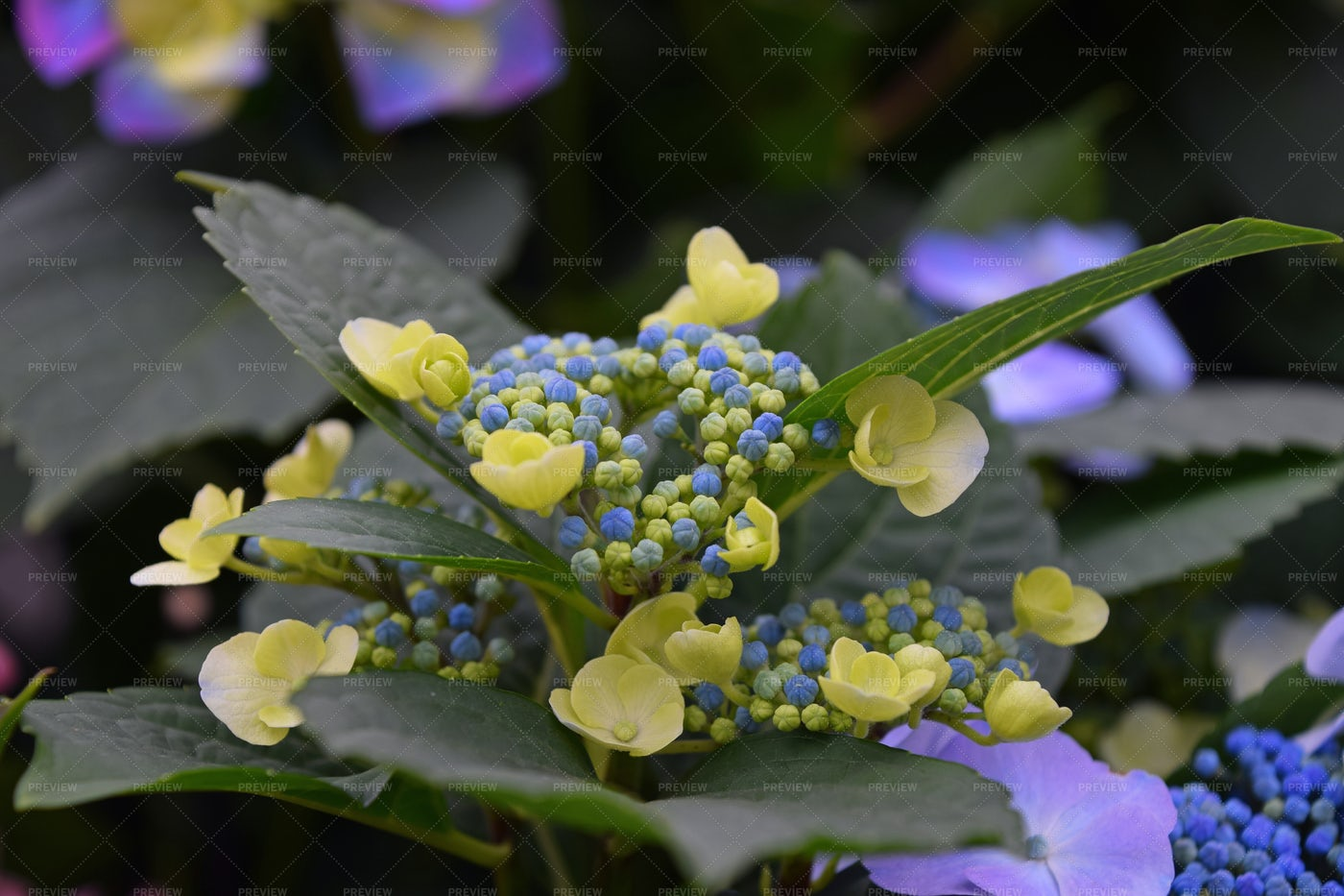 Yellow And Blue Hortensia: Stock Photos