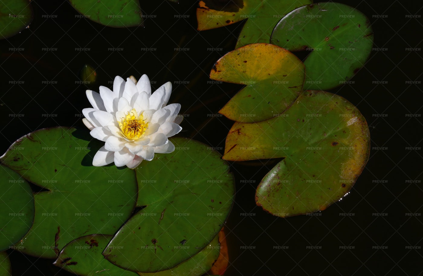White Water Lily Flowers: Stock Photos