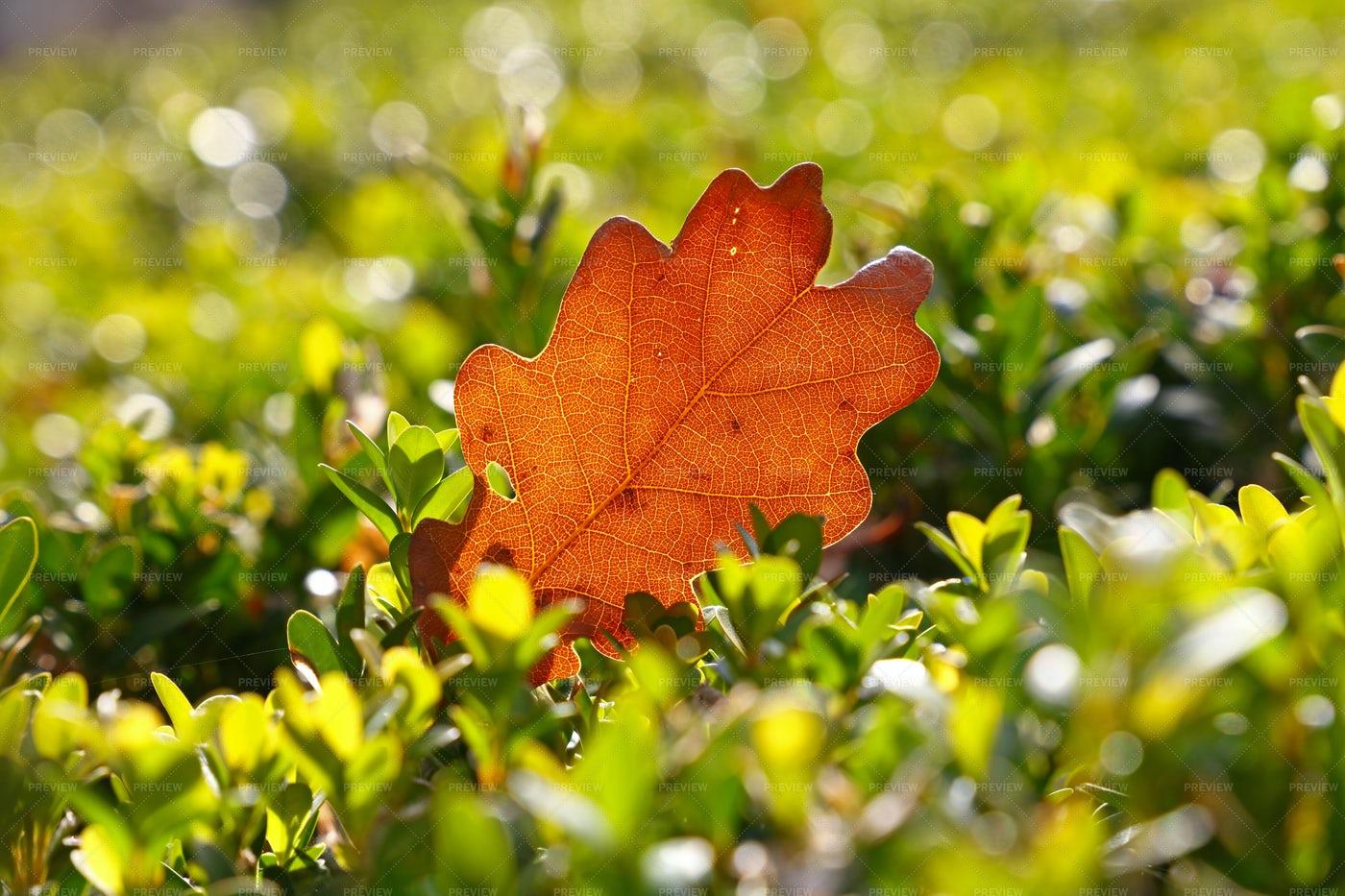 Oak Leaf On Grass: Stock Photos