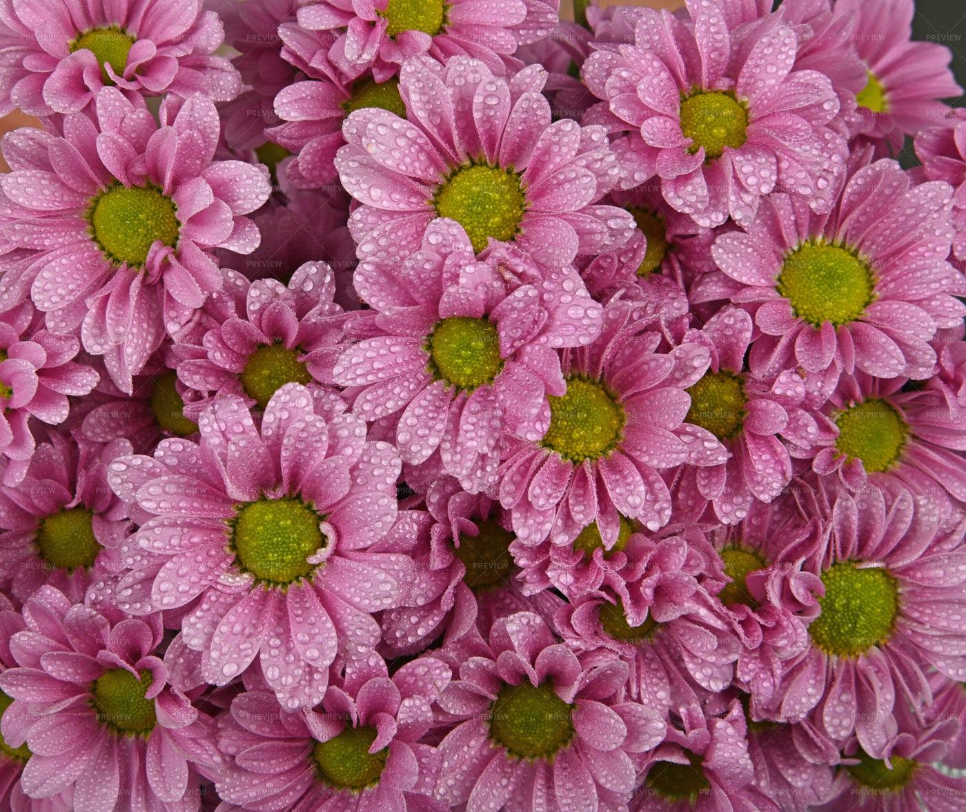 Pink Chrysanthemum Flowers: Stock Photos