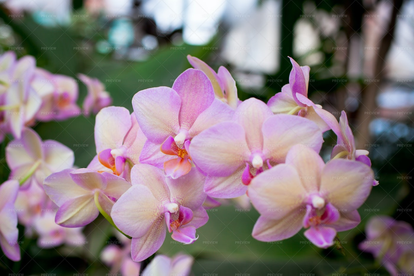 Pink Orchids: Stock Photos