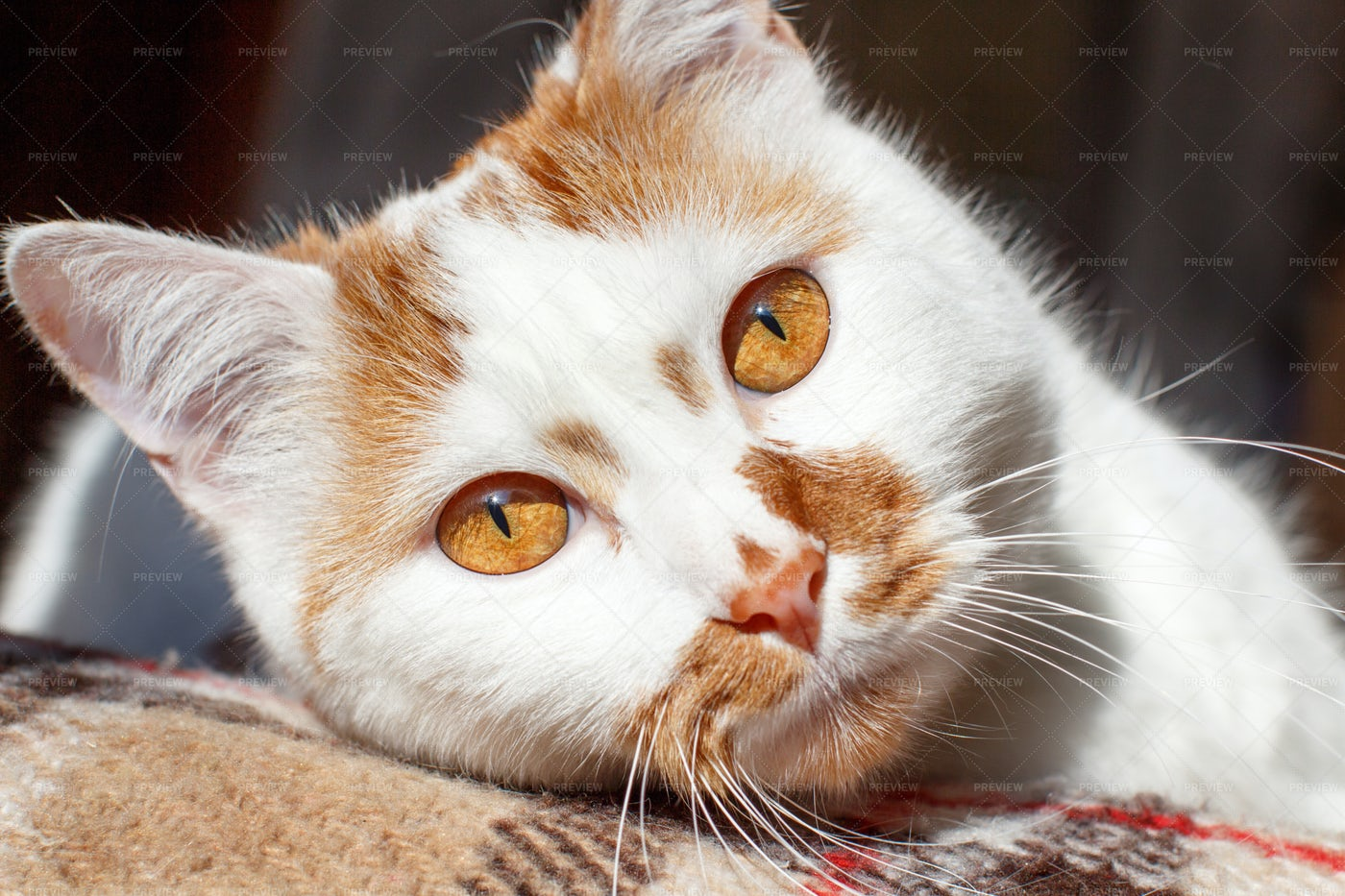 White And Red Cat: Stock Photos