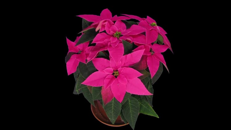 Red Poinsettia Christmas Flower Growing: Stock Video