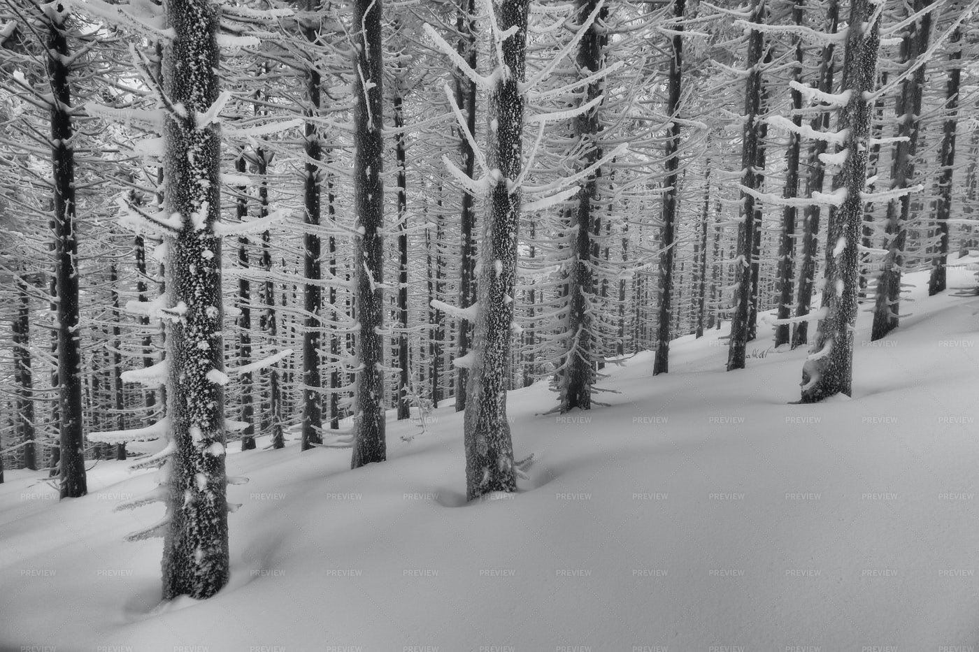Freezing Spruce Forest: Stock Photos