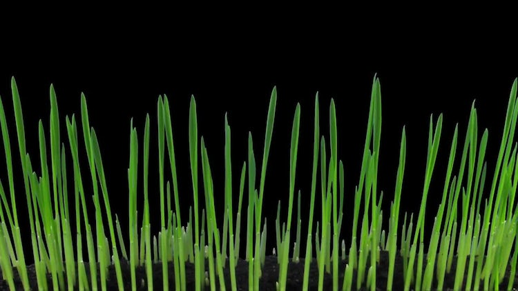 Time Lapse Of Barley Seeds Growing: Stock Video