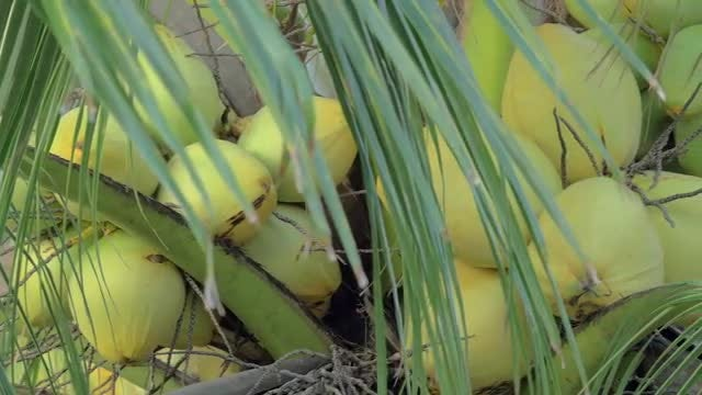 Coconuts On Palm Tree: Stock Video