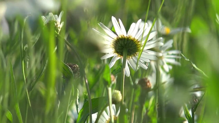 Daisies Swaying : Stock Video