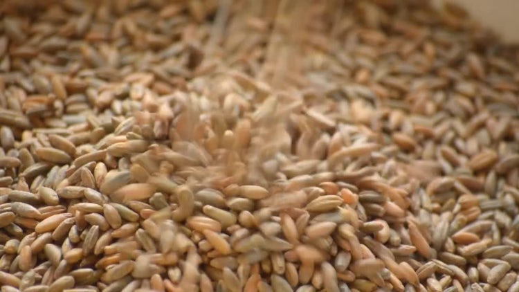 Wheat Seeds: Stock Video
