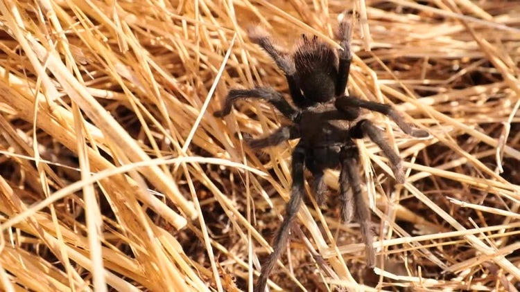 Tarantula Spider: Stock Video