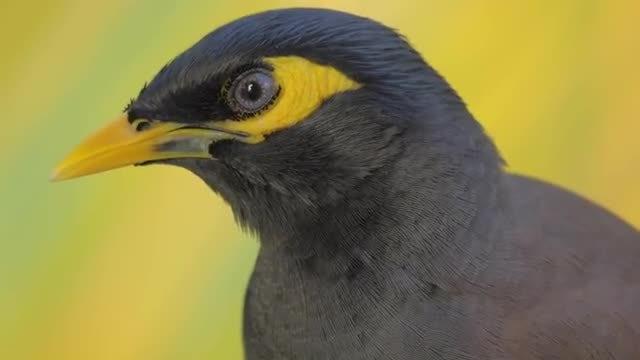Black and Yellow Mynah Bird: Stock Video