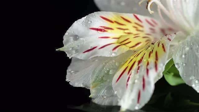 Peruvian Lily: Stock Video