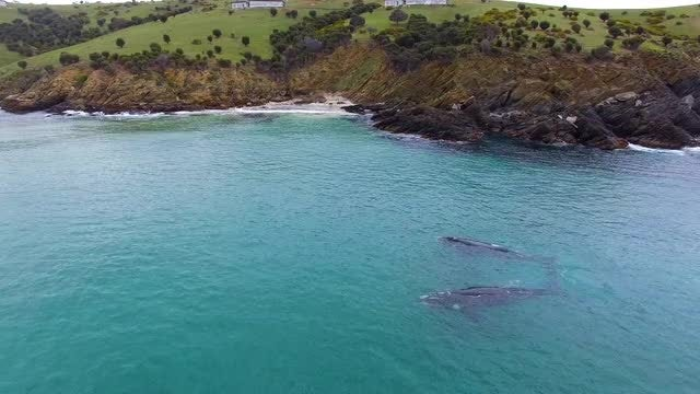 Two Southern Right Whales Playing: Stock Video