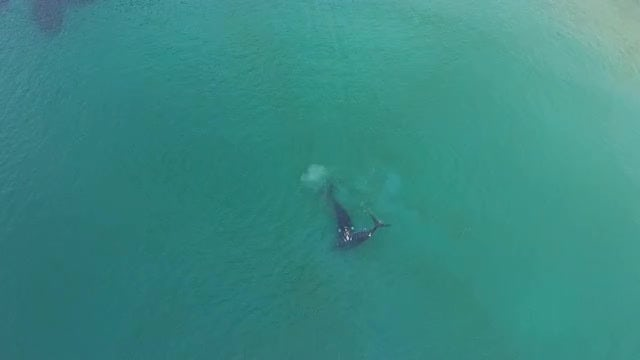 Two Southern Right Whales Swimming: Stock Video