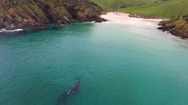 Two Dark Southern Right Whales: Stock Video