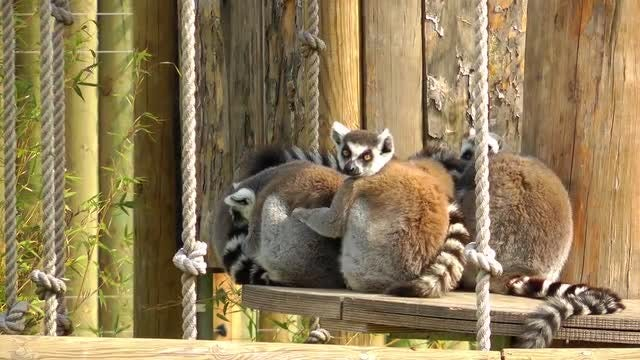 Lemur Family In A Zoo: Stock Video
