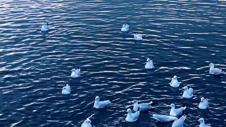 Seagulls On Sea Water: Stock Video