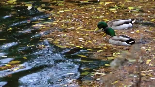 Mallard Ducks Feeding On Lake: Stock Video