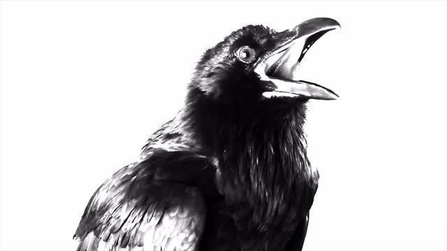 Black Raven On White Background: Stock Video