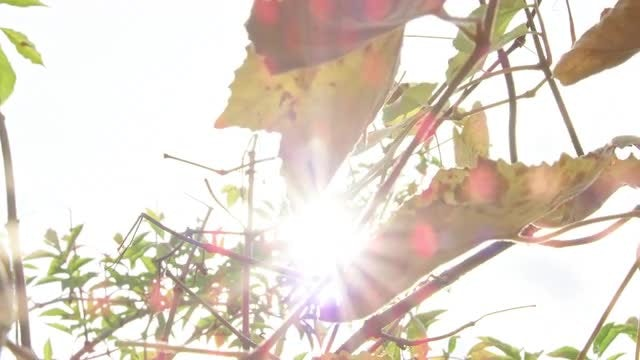 Grape Leaves In Autumn: Stock Video