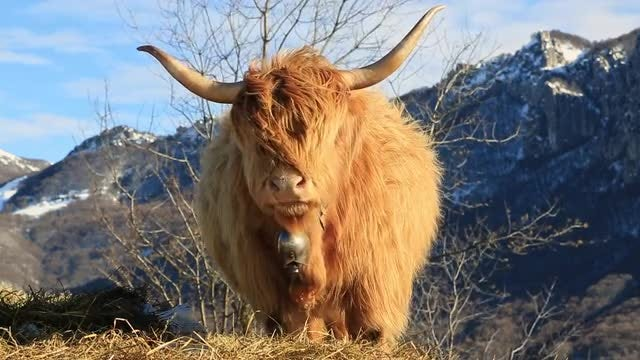 Highland Cattle : Stock Video
