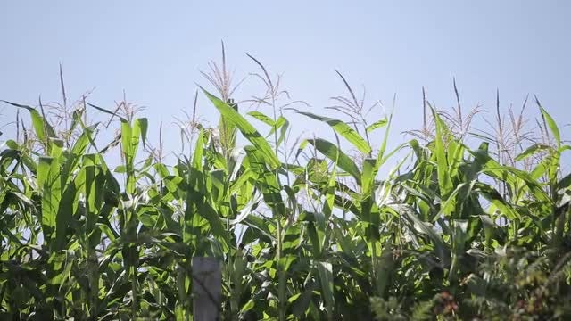 Corn Field: Stock Video